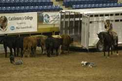 Cowdog Demonstration